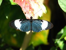 Black/White Helicon Butterfly Resting On A Flower Royalty Free Stock Images