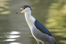 Free Beautiful Heron Stock Image - 1254121