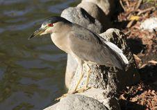 Free Beautiful Heron Royalty Free Stock Image - 1254146