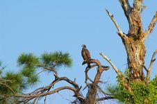 Free Proud Eagle Stock Image - 1254721