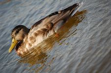 Free Sleepy Duck Royalty Free Stock Photography - 1255177