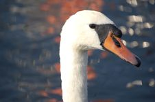 Free Swan Waiting For The Partner Stock Photos - 1255353