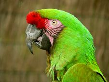 Free Green Macaw Royalty Free Stock Photo - 1255605