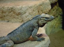 Free Iguana Rhinoceros Stock Photos - 1256863
