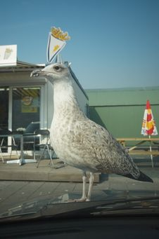 Hungry Seagull Stock Photo