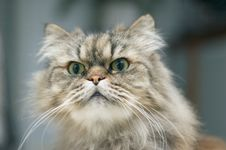 Free Persian Cat Royalty Free Stock Photo - 1257305