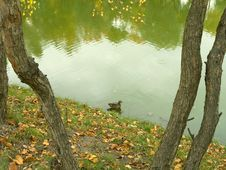 Free Lonely Duck Stock Photos - 1257663