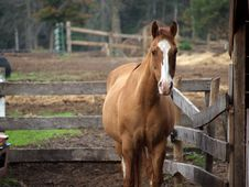 Chestnut Horse In Paddock Stock Images
