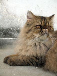 Free Persian Cat Portrait Royalty Free Stock Photography - 1258307