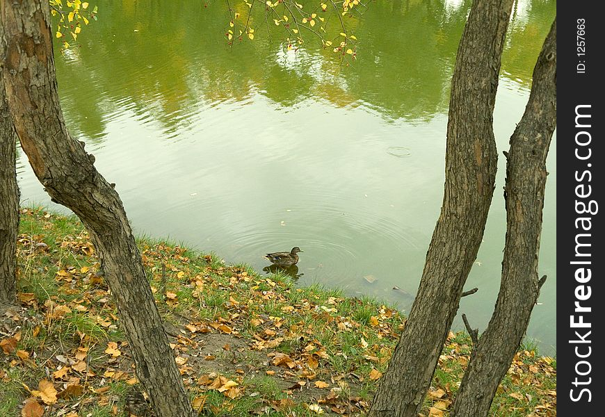 Lonely duck