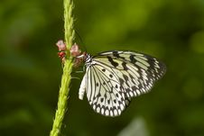 Black And White Butterfly Stock Photography