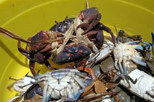 Free Seafood, Crab, Decapoda, Dungeness Crab Royalty Free Stock Photo - 125016415