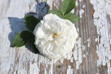 Free White, Flower, Rose Family, Rose Stock Photography - 125016512