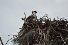 Free Bird, Nest, Bird Nest, Bird Of Prey Royalty Free Stock Photography - 125016517