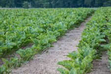 Free Agriculture, Crop, Field, Leaf Vegetable Royalty Free Stock Images - 125016539