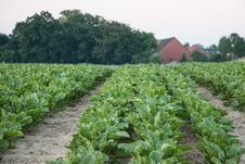 Free Agriculture, Field, Crop, Leaf Vegetable Royalty Free Stock Photo - 125016545