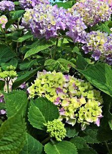 Free Plant, Flower, Flowering Plant, Hydrangea Stock Photography - 125016732
