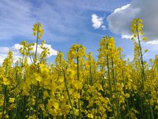 Free Rapeseed, Canola, Yellow, Mustard Plant Royalty Free Stock Photo - 125017095