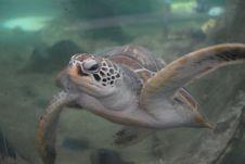 Free Sea Turtle, Turtle, Ecosystem, Loggerhead Royalty Free Stock Image - 125017336