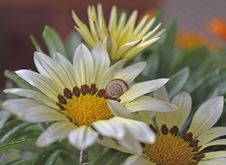 Gazania Flowers With Little Cute Snail Royalty Free Stock Photography