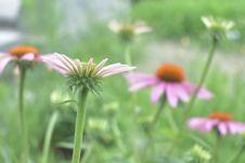 Close Up Of Echinacea Flowers Stock Image