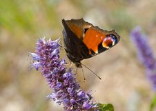 Free Peacock-butterfly On Flower Stock Image - 12547801