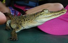 Free Crocodilia, Reptile, Crocodile, Nile Crocodile Stock Photography - 125456312