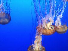 Free Jellyfish, Cnidaria, Marine Invertebrates, Invertebrate Royalty Free Stock Photos - 125456458