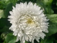 Free Flower, Plant, Oxeye Daisy, Daisy Family Stock Images - 125456974