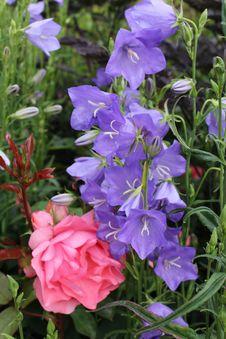 Free Plant, Flower, Bellflower Family, Bellflower Royalty Free Stock Photo - 125456975