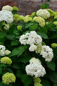 Free Plant, Flower, Hydrangea, Nannyberry Royalty Free Stock Image - 125457016