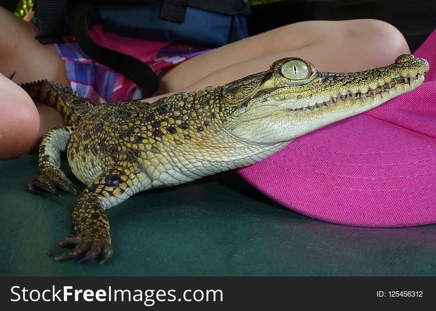 Crocodilia, Reptile, Crocodile, Nile Crocodile