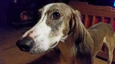 Free Dog Breed, Dog, Saluki, Snout Stock Image - 125595871