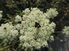 Free Plant, Flora, Apiales, Cow Parsley Stock Image - 125595971