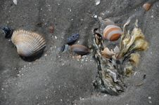 Free Cockle, Seashell, Clam, Clams Oysters Mussels And Scallops Stock Image - 125596151