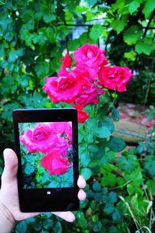 Free Flower, Rose, Rose Family, Pink Royalty Free Stock Photos - 125596388