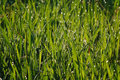 Free Grass With Dew Drops Royalty Free Stock Image - 12564906
