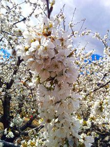 Free Blossom, Branch, Spring, Cherry Blossom Royalty Free Stock Image - 125839756