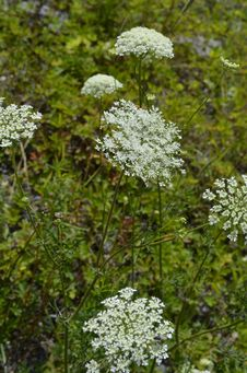 Free Plant, Cow Parsley, Apiales, Parsley Family Stock Image - 125840281