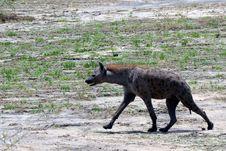 Free Wildlife, Hyena, Fauna, Terrestrial Animal Royalty Free Stock Images - 125840369