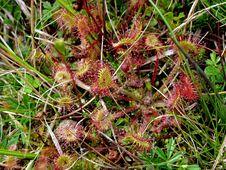 Free Plant, Flora, Vegetation, Carnivorous Plant Stock Photography - 125840572