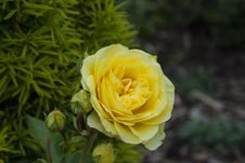 Free Yellow, Flower, Rose Family, Rose Stock Photo - 125840650