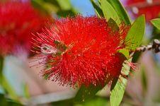 Free Flora, Flower, Syzygium Malaccense, Plant Royalty Free Stock Photography - 125934637