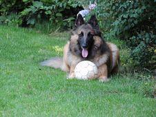 Free Dog, Old German Shepherd Dog, Dog Like Mammal, Tervuren Stock Photos - 125934703