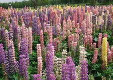 Free Plant, Flower, Flowering Plant, Lupin Royalty Free Stock Image - 125934856