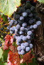 Free Ripe Grapes Royalty Free Stock Image - 1260266