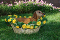 Free Little Girl Dachshund In A Basket Stock Photo - 1262820