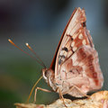 Free Butterfly Macro Royalty Free Stock Images - 1262839