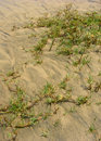 Free The Beach Grass Royalty Free Stock Photography - 1268237