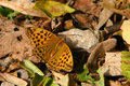 Free Argynnis Paphia Butterfly Stock Image - 1269461